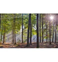 beukenbos herfst zonnestralen  Fotowand wanddecoratie fotobehang muurposter natuurfoto natuurfotowand gerard veerling