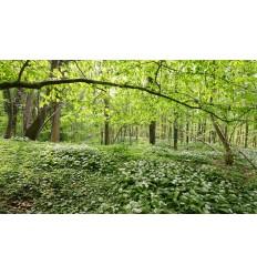 bloeiend Daslook bos zuid-limburg fotobehang fotowand natuurfotowand gerard veerling fotowandenshop.nl