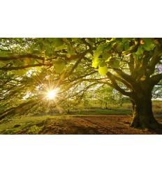 Beukenboom ondergaande zon  Fotowand wanddecoratie fotobehang muurposter natuurfoto natuurfotowand gerard veerling fotowandensho