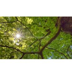 Fotoplafond van zonlicht door Beukenbladeren. fotowandenshop.nl