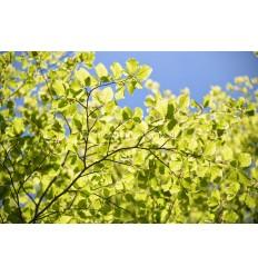 Fotoplafond van Beukenbladeren. fotowandenshop.nl