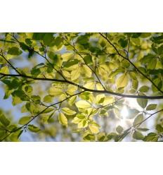 Fotowand van zonlicht door Beukenbladeren. fotowandenshop.nl