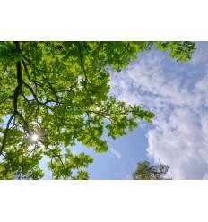 Wolkenplafond van zonlicht door Eikenbladeren. fotowandenshop.nl