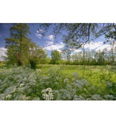 fotowand of fotobehang van bloeiend fluitekruid  in de weilanden van Bennekom en Wageningen