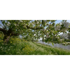 fotowand Appeldijkje met appelbloesem in bloei Betuwe fotowandenshop.nl