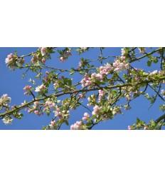 Bloesemtakken tegen blauwe lucht fotowand hollands fotobehang natuurfotowand gerard veerling fotowandenshop.nl