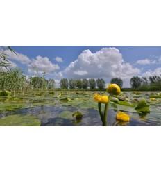 bloeiende gele plomp hollands fotobehang fotowand natuurfotowand gerard veerling fotowandenshop.nl