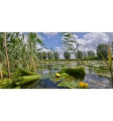 Bloeiende waterplaten Gele Plomp hollands fotobehang fotowand natuurfotowand gerard veerling fotowandenshop.nl