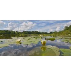 Fotowand bloeiende lelies Loosdrecht natuurgebied Vuntus fotowandenshop.nl