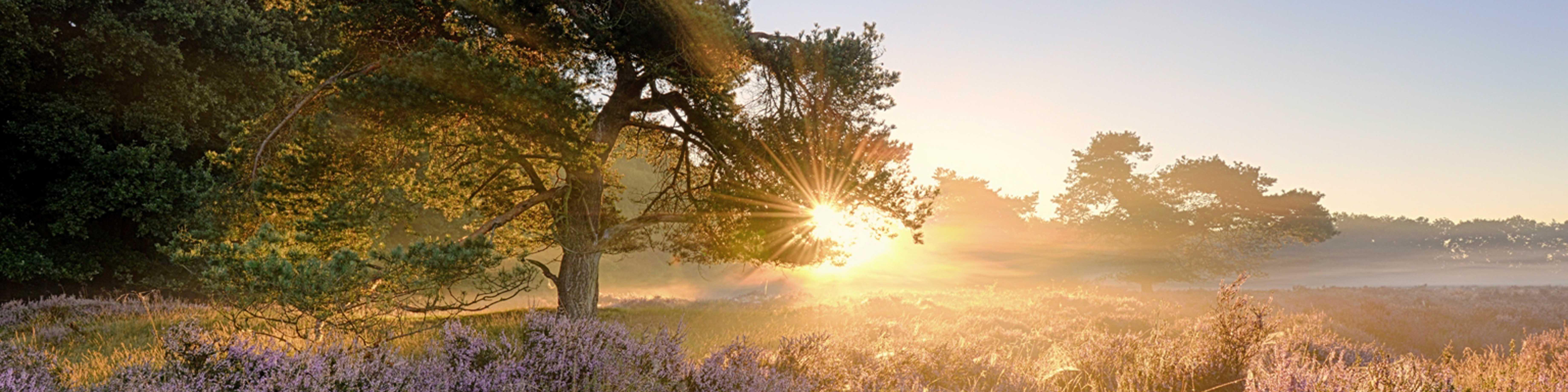 fotowandensgop.nl foto van zonsopkomst bloeiende paarse heide